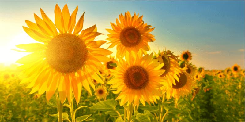 חמניות פורחות ושמש מאירה