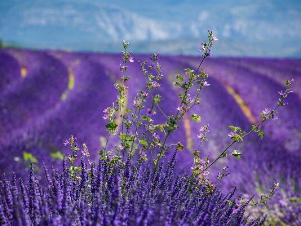 שדות פרחים עם דרכים ביניהם